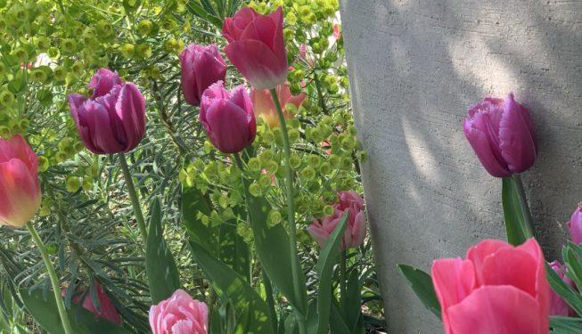 Tulip and euphorbia